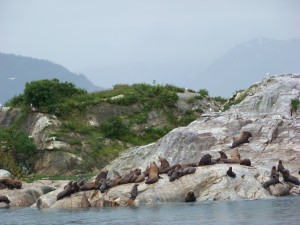 Sea lions lounging in Glacier Bay